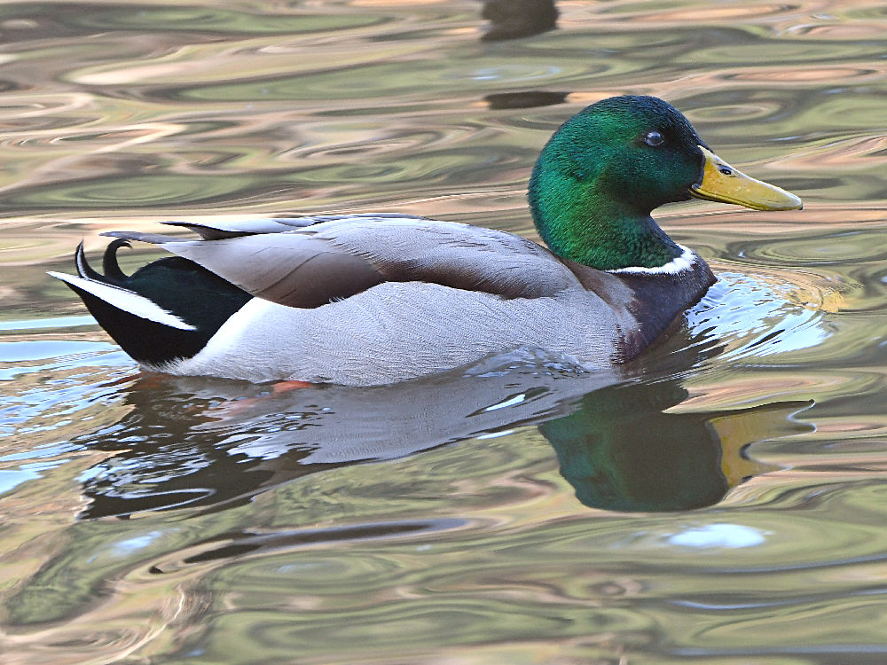 """wev's """"I can't believe I'm doing this again. . ."""" 365 for 2018-mallard.jpg"""