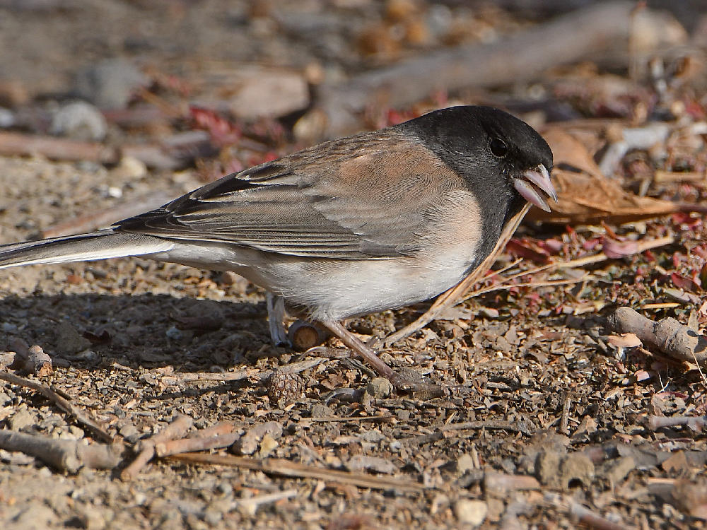 "wev's ""I can't believe I'm doing this again. . ."" 365 for 2018-junco3.jpg"