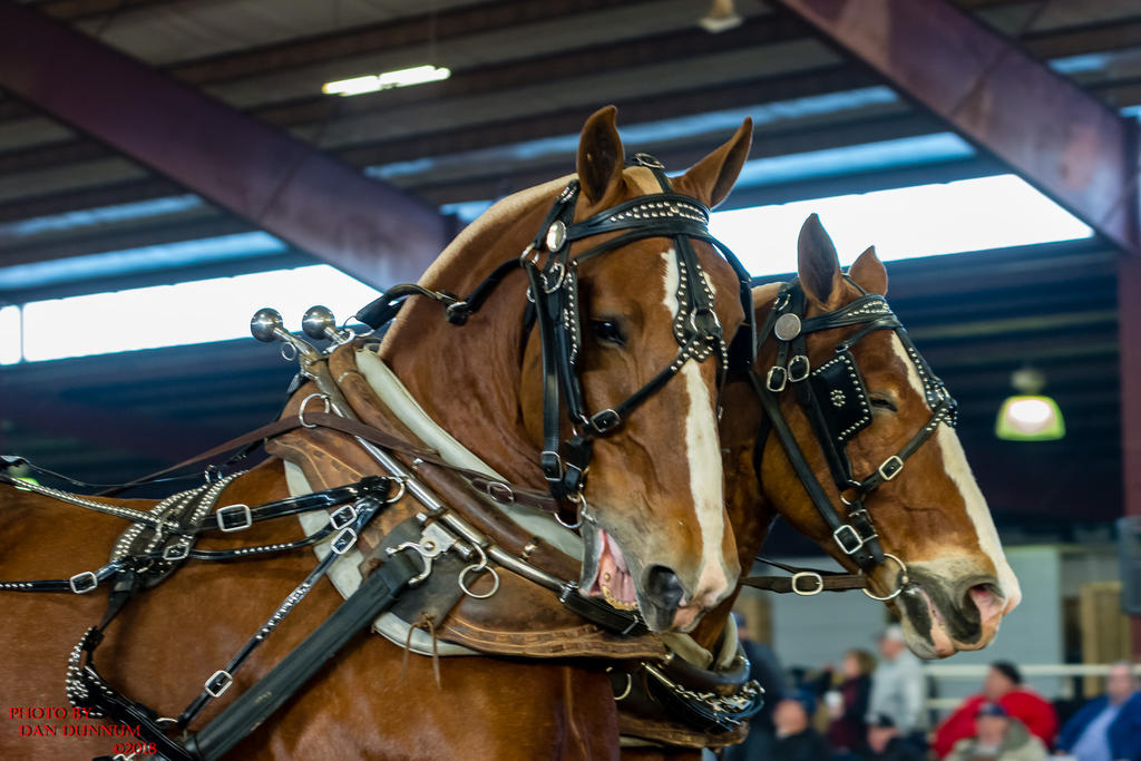 Danno's 365 for 2018 Going to Give it a Shot Again...-mid-winter-horse-pull-2838.jpg
