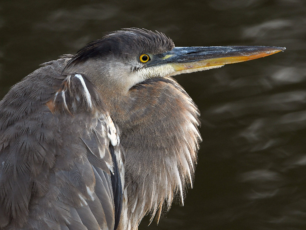 """wev's """"I can't believe I'm doing this again. . ."""" 365 for 2018-blueheron5.jpg"""