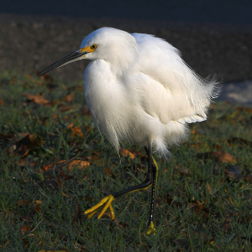 """wev's """"I can't believe I'm doing this again. . ."""" 365 for 2018-egret3.jpg"""