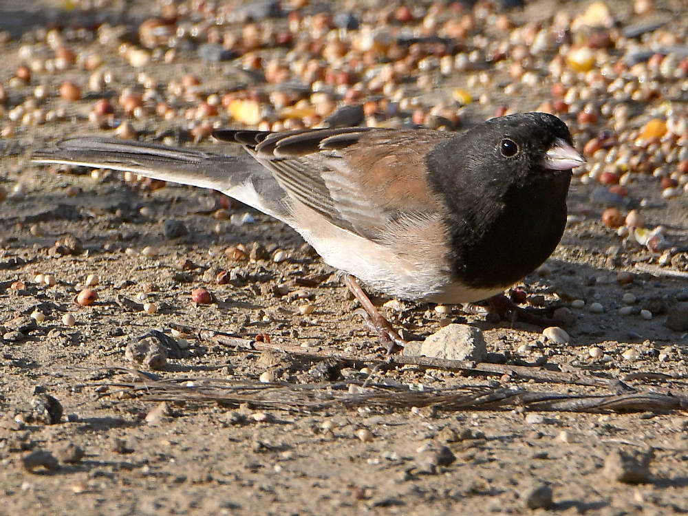 """wev's """"I can't believe I'm doing this again. . ."""" 365 for 2018-junco2.jpg"""