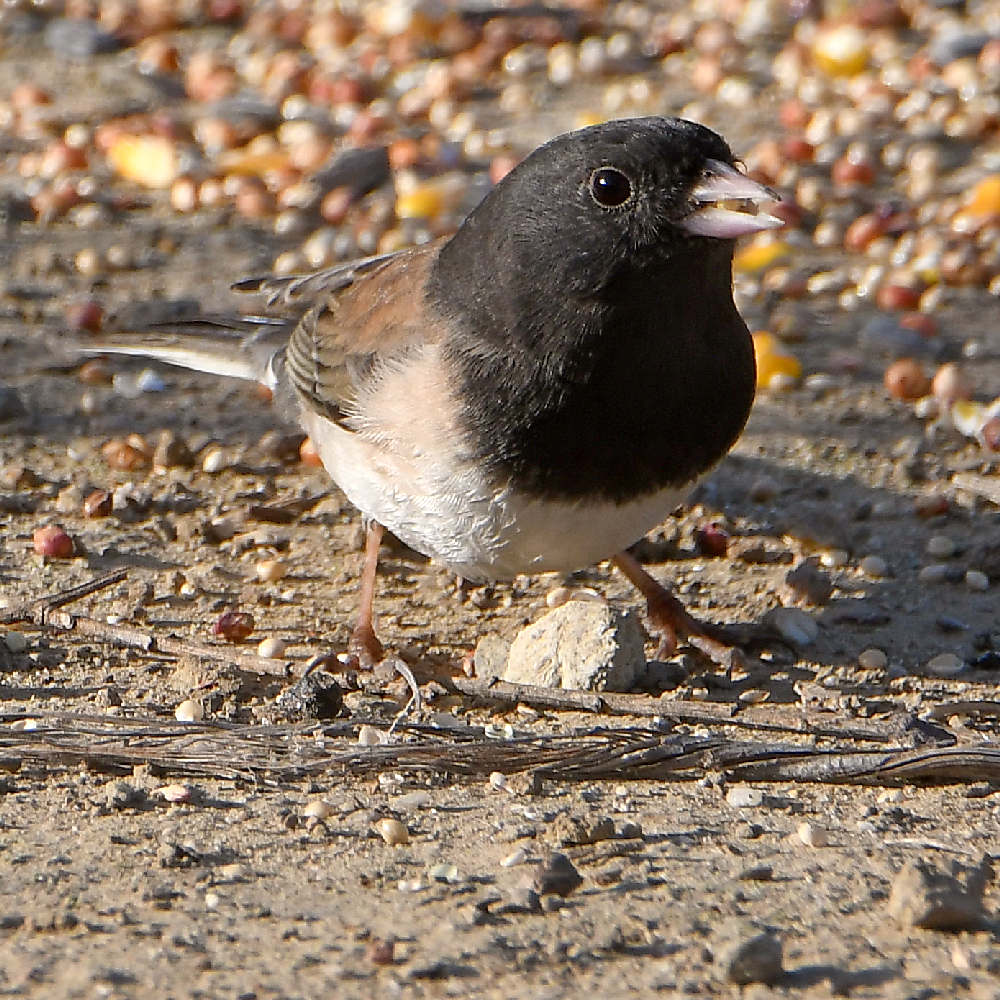 """wev's """"I can't believe I'm doing this again. . ."""" 365 for 2018-junco3.jpg"""