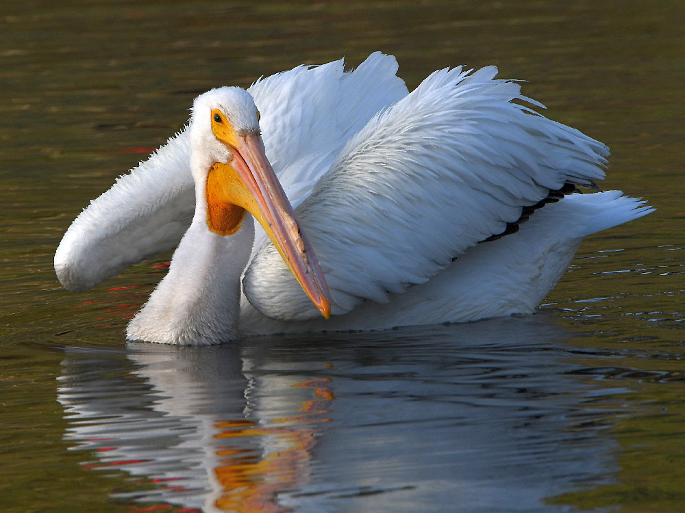 """wev's """"I can't believe I'm doing this again. . ."""" 365 for 2018-pelican.jpg"""