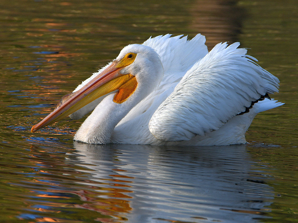 """wev's """"I can't believe I'm doing this again. . ."""" 365 for 2018-pelican2.jpg"""