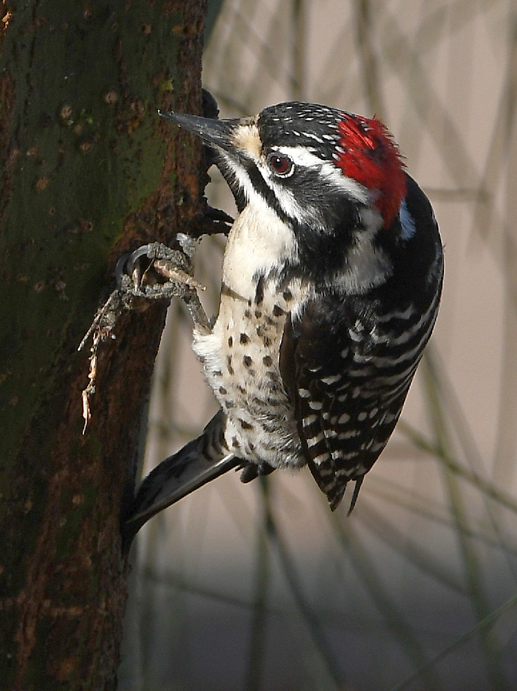 "wev's ""I can't believe I'm doing this again. . ."" 365 for 2018-woodpecker3.jpg"