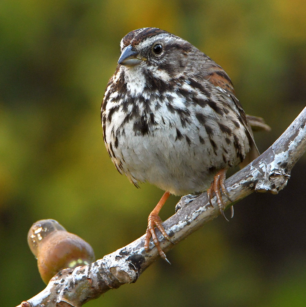 """wev's """"I can't believe I'm doing this again. . ."""" 365 for 2018-sparrow4.jpg"""