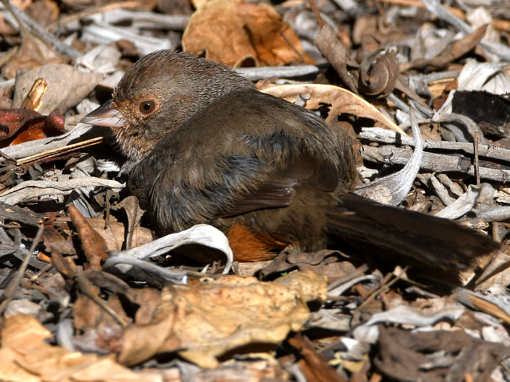 """wev's """"I can't believe I'm doing this again. . ."""" 365 for 2018-towhee.jpg"""