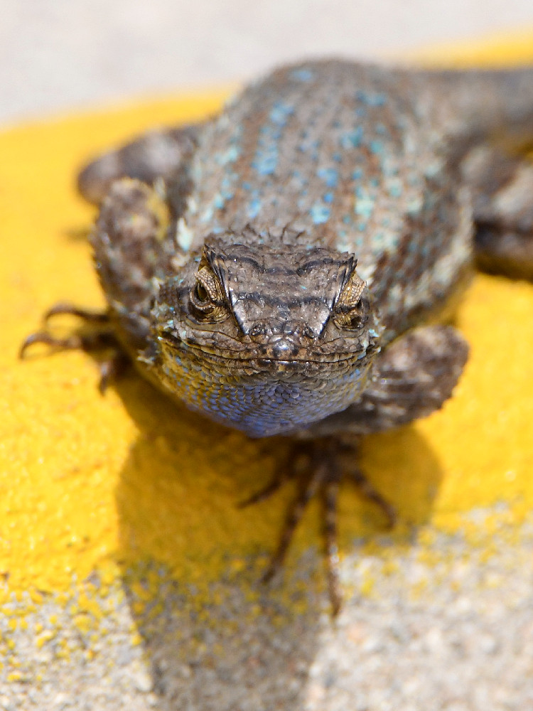 """wev's """"I can't believe I'm doing this again. . ."""" 365 for 2018-lizard8.jpg"""