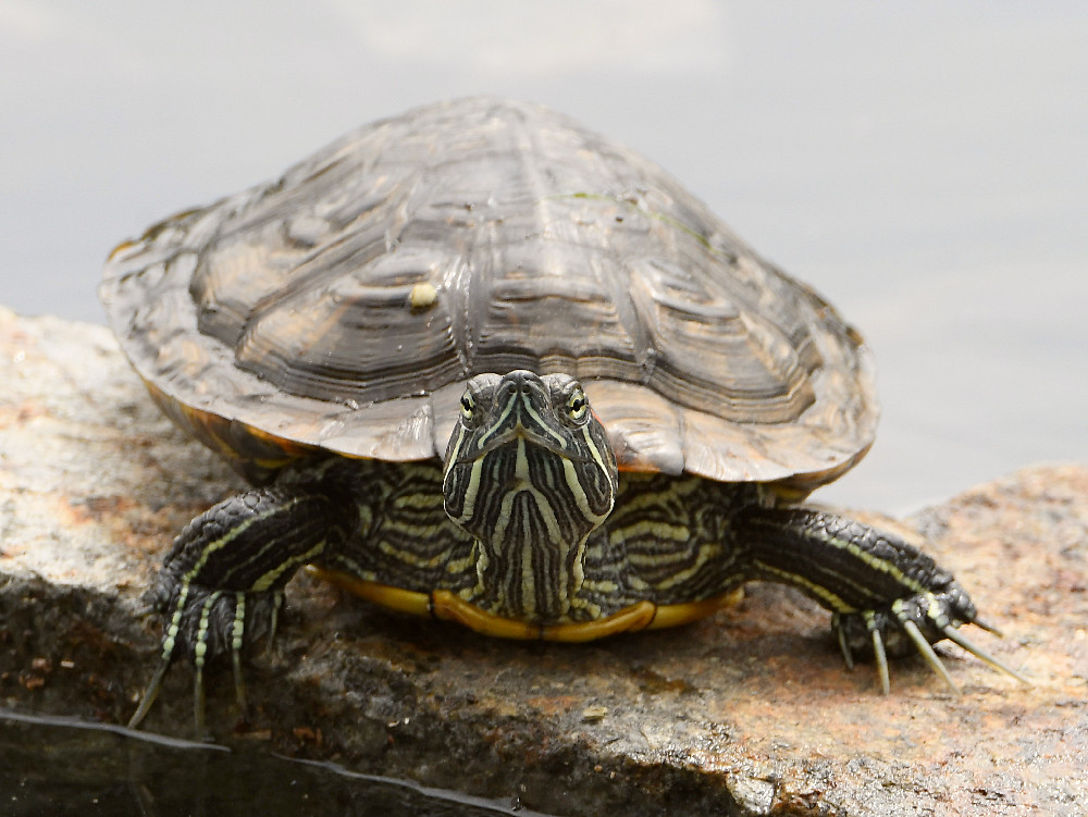 """wev's """"I can't believe I'm doing this again. . ."""" 365 for 2018-turtle2.jpg"""