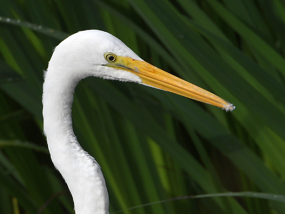 """wev's """"I can't believe I'm doing this again. . ."""" 365 for 2018-egret2.jpg"""