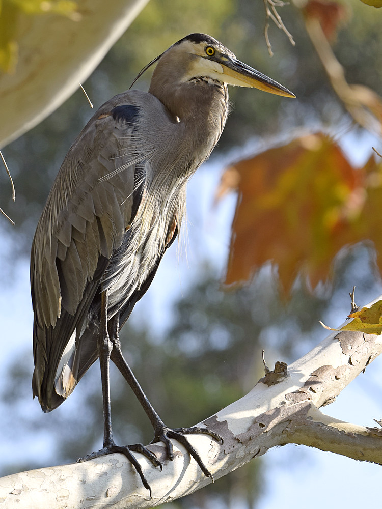 """wev's """"I can't believe I'm doing this again. . ."""" 365 for 2018-blueheron9.jpg"""