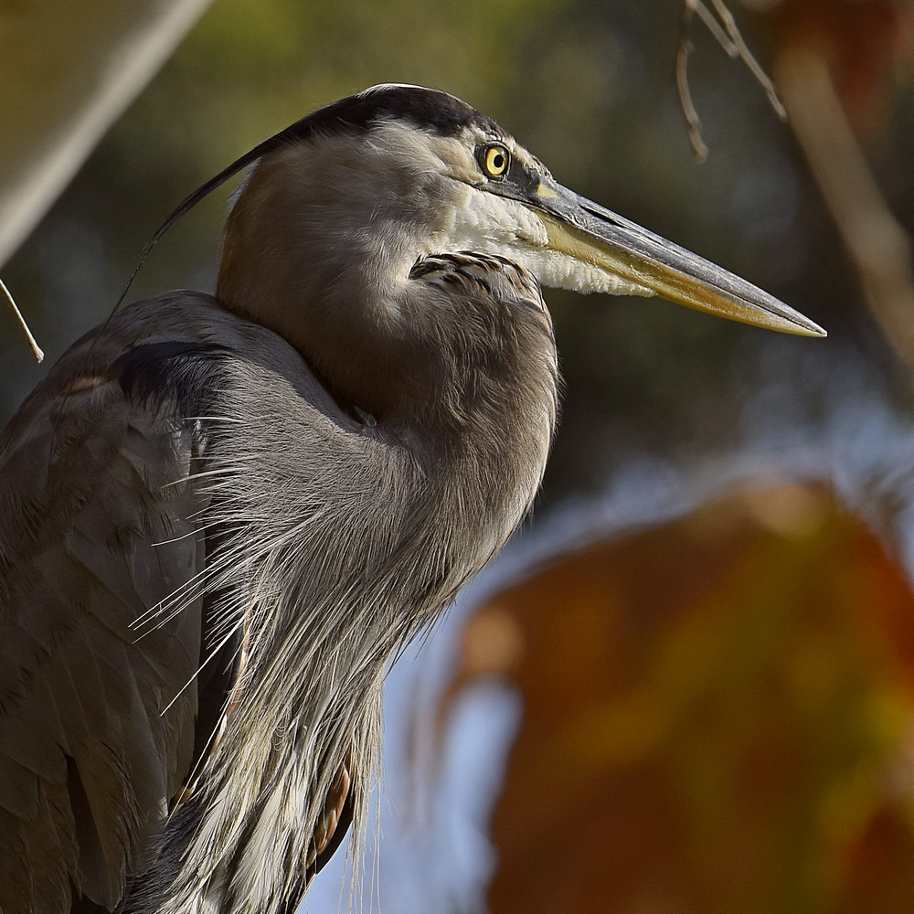 """wev's """"I can't believe I'm doing this again. . ."""" 365 for 2018-blueheron11.jpg"""