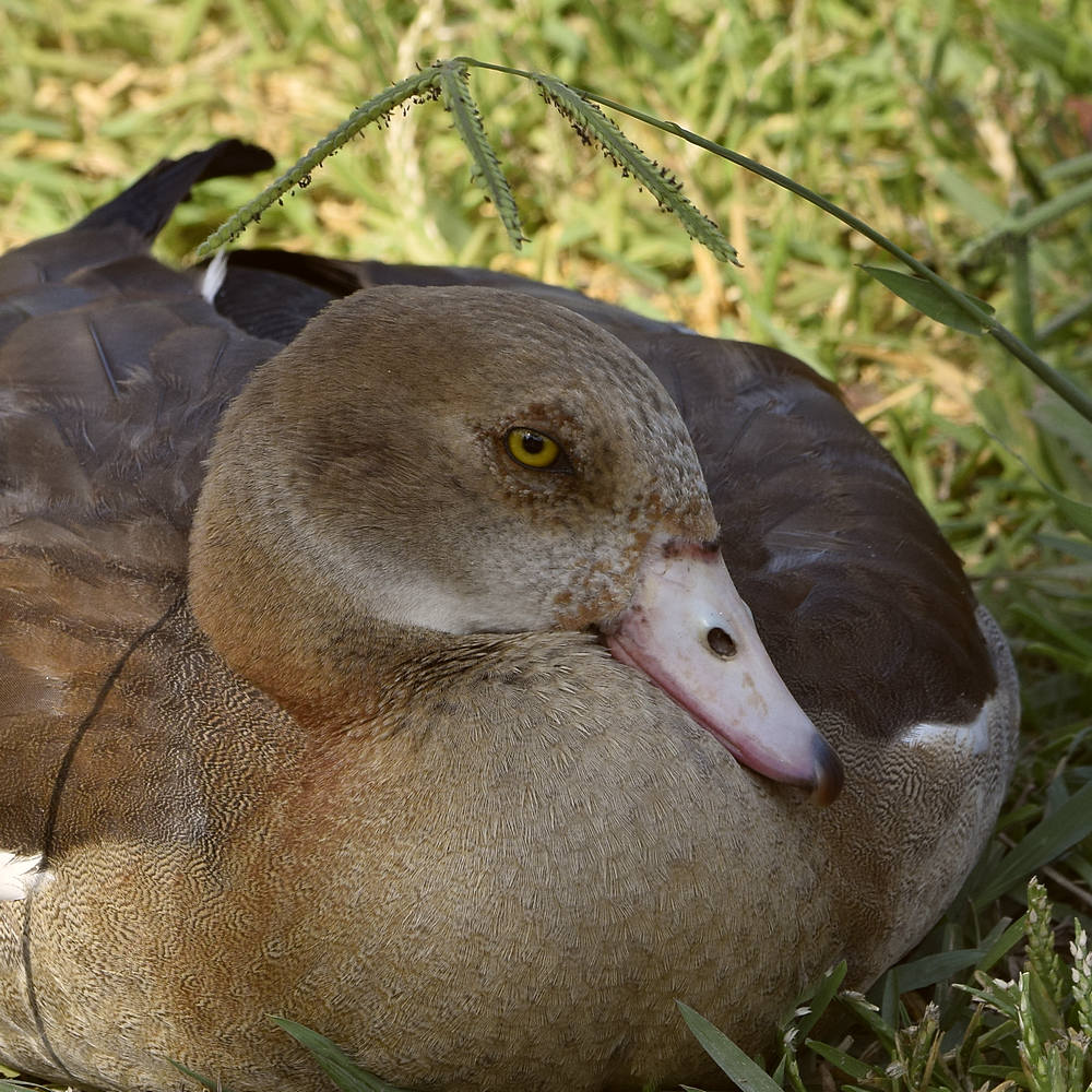 """wev's """"I can't believe I'm doing this again. . ."""" 365 for 2018-goose3.jpg"""