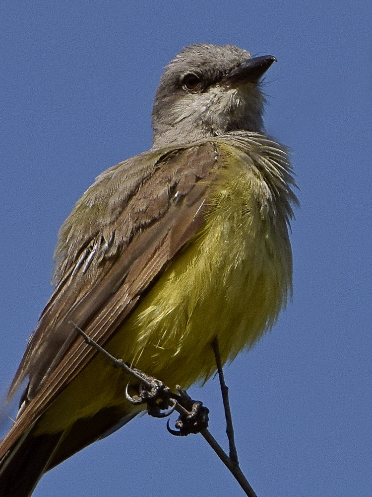 """wev's """"I can't believe I'm doing this again. . ."""" 365 for 2018-kingbird6.jpg"""