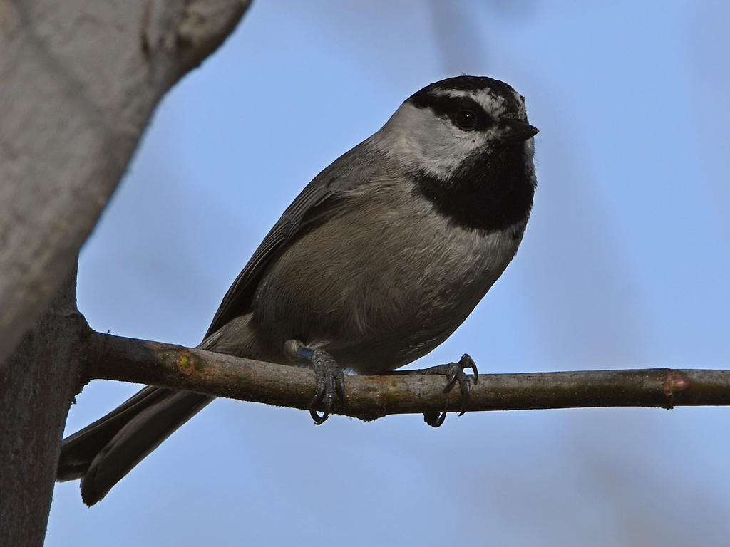 wev's 366 in 2020-chickadee2.jpg