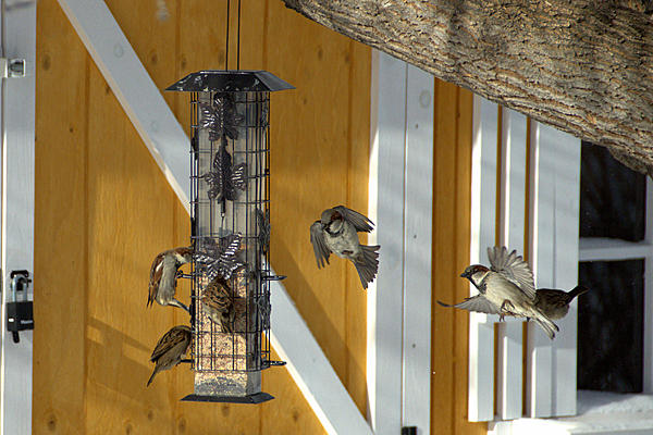 Picking Lenses for my trip to the Southern USA-bif-sparrows-feeder-dsc_2512-1.jpg