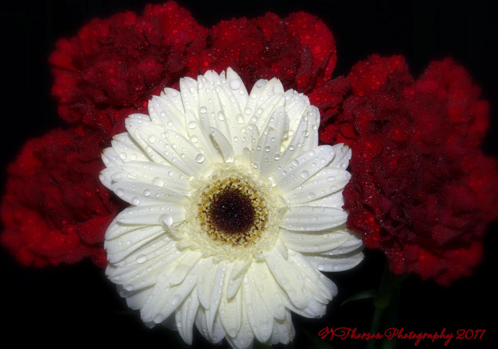 Weekly Challenge Jan. 4 - 11: Standing Out In A Crowd-white-gerbera-daisy-burgundy-carnations-1-10-2017.jpg