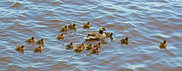 The Duck Thread-1-duck-17-ducklings.jpg