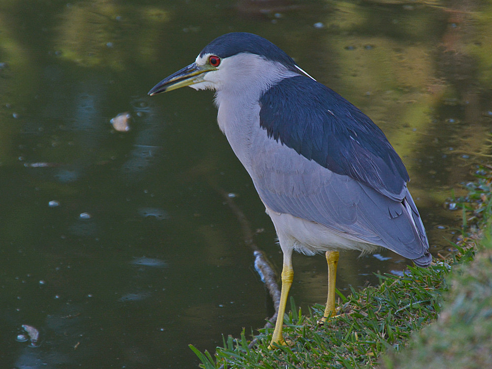 Post your birds (2)-heron19.jpg