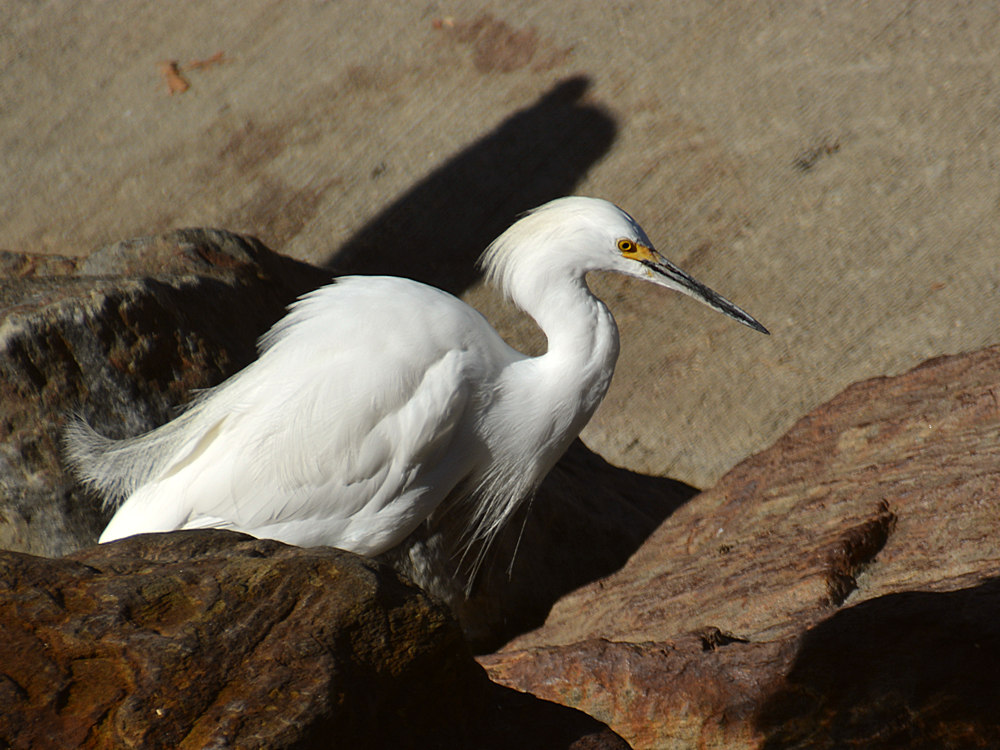 Post your birds (2)-egret2.jpg