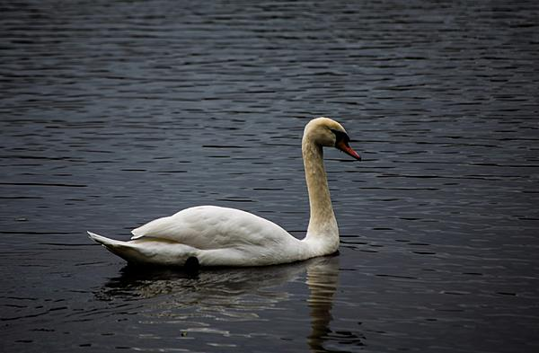 Post your birds (2)-swan.jpg