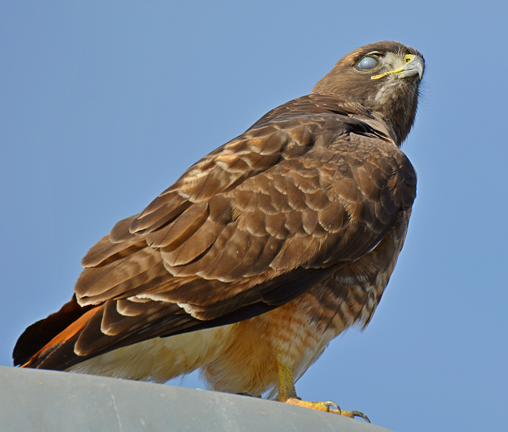 Post your Raptors-hawk7.jpg