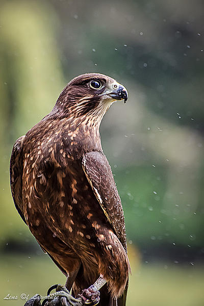 Post your Raptors-young-female.jpg