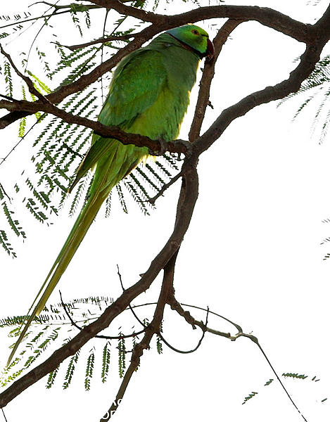 Polly wants a Picture - Post your Parrot Pics-esc_7577.jpg