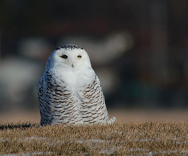Snowy Owl seems content with its city surroundings-grounded-snowy-_filtered.jpg