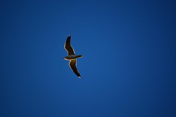 Post your Birds in Flight-dsc_5505.jpg