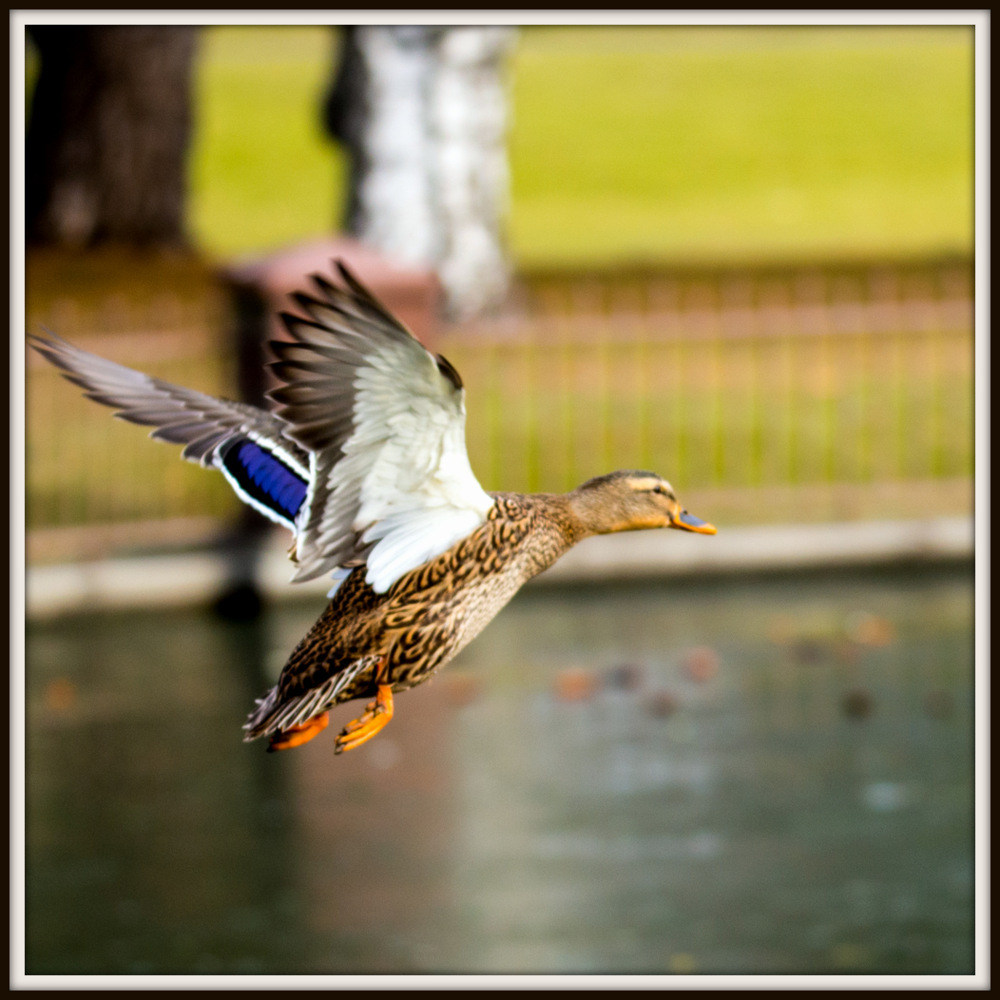 Post your Birds in Flight-dsc_1446.jpg