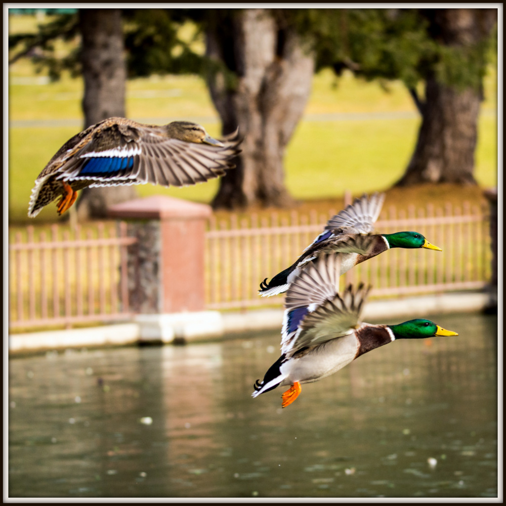 Post your Birds in Flight-dsc_1414.jpg