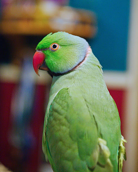 Polly wants a Picture - Post your Parrot Pics-kiwi-u00252b2015_dsc4490_edit.jpg