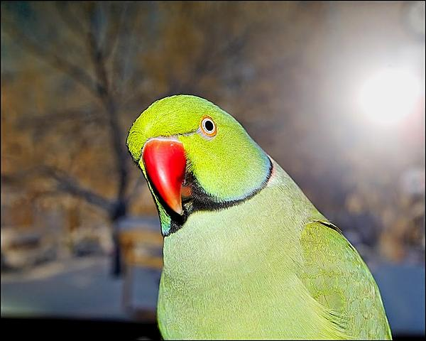 Polly wants a Picture - Post your Parrot Pics-kiwi-u00252b2015_dsc4537_edit.jpg