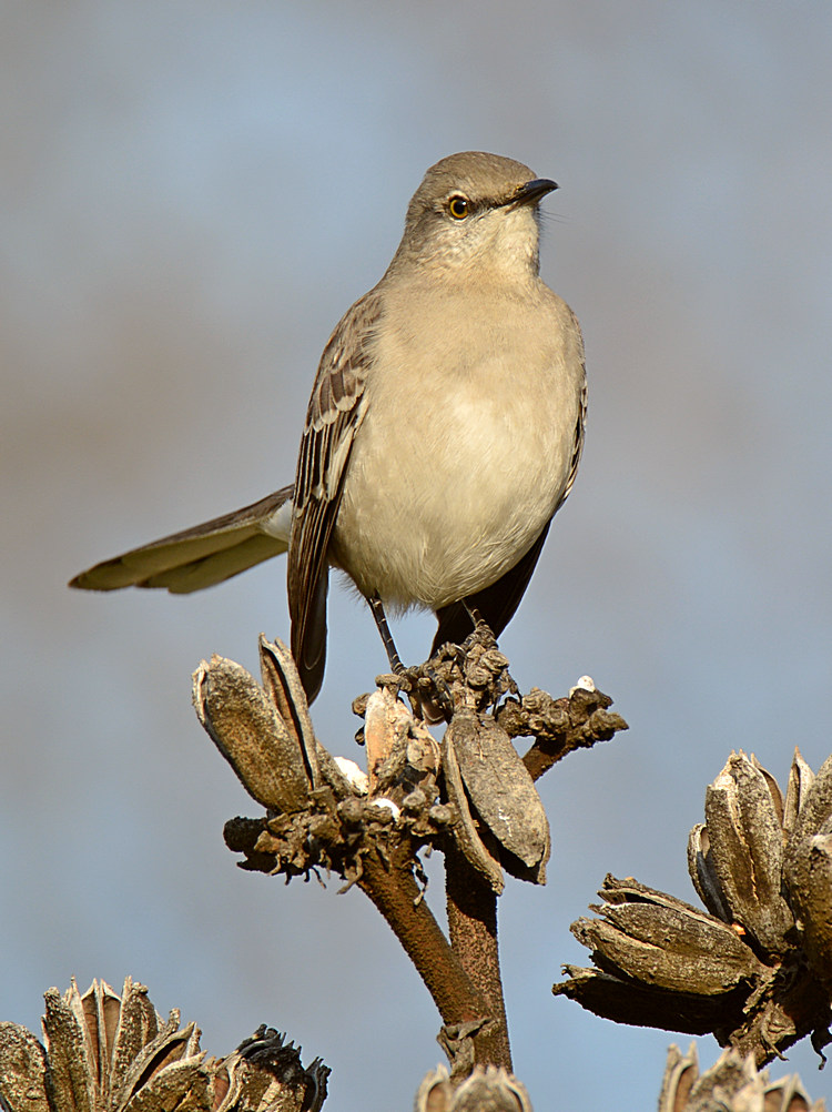 Post your birds (2)-mockingbird3.jpg