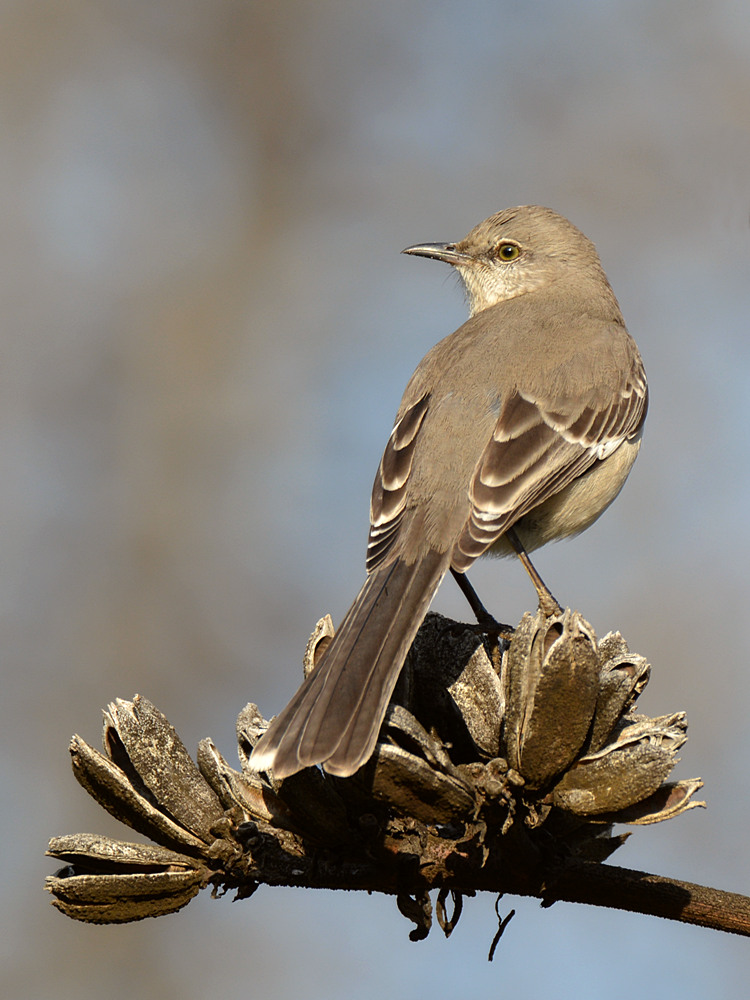 Post your birds (2)-mockingbird5.jpg