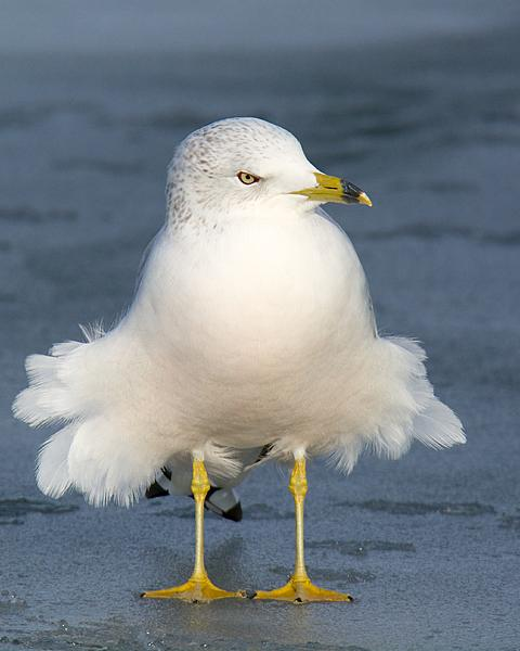 Post your birds (2)-windygull-286.jpg