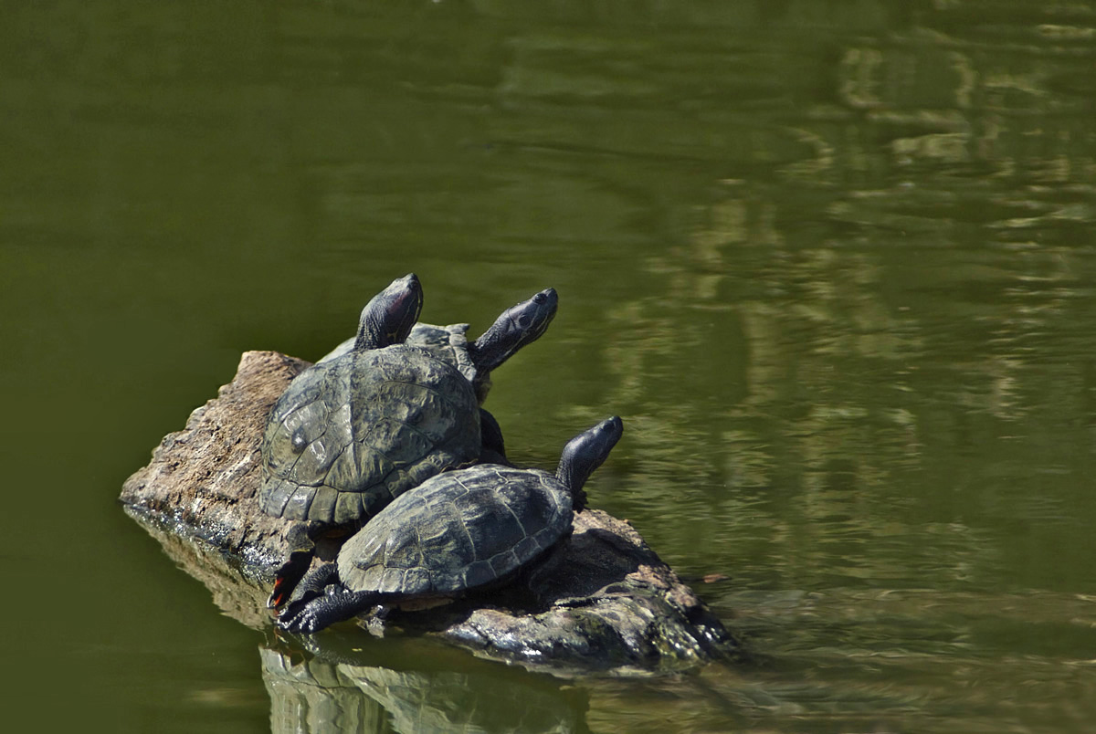 Let's see some reptiles...-turtles.jpg