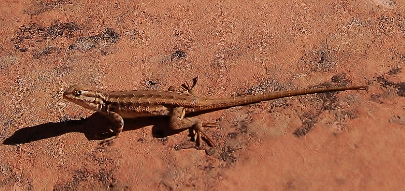 Let's see some reptiles...-zion-223-800x379-.jpg