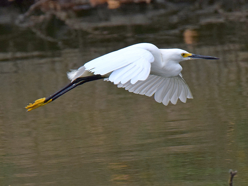 Post your Birds in Flight-egret2.jpg