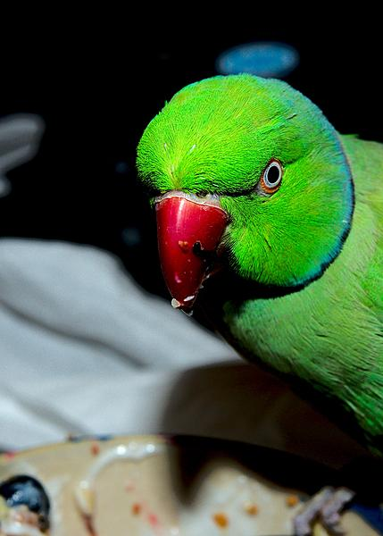 Polly wants a Picture - Post your Parrot Pics-dsc_1103-kiwi-july-2015-0001-2015-07-18t08_52_57.jpg