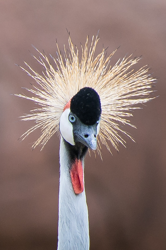 Post your zoo photos-east-african-crowned-crane.jpg