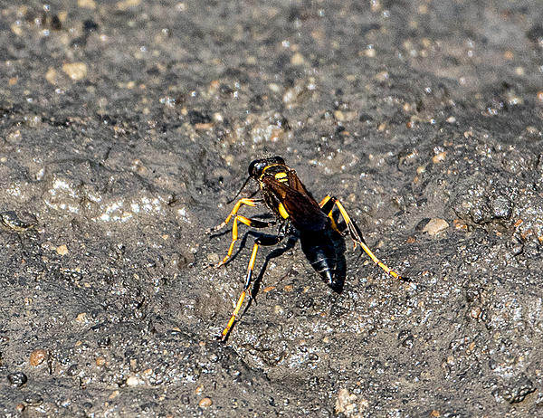 Post your dragonflies and bees/wasps-dsc_4645.jpg