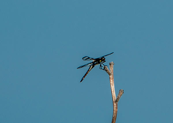Post your dragonflies and bees/wasps-dsc_4853.jpg