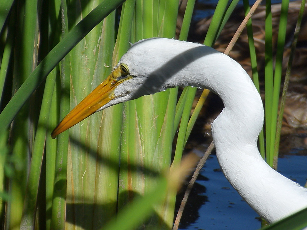 Post your birds (2)-egret5.jpg