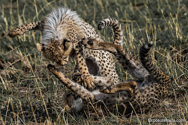 Cheetah Cubs at Play-cheetah-cubs-play-et.jpg