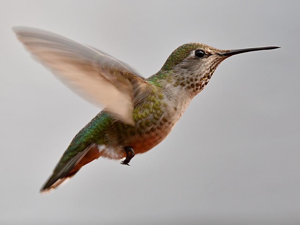 Post your Birds in Flight-hummer25.jpg