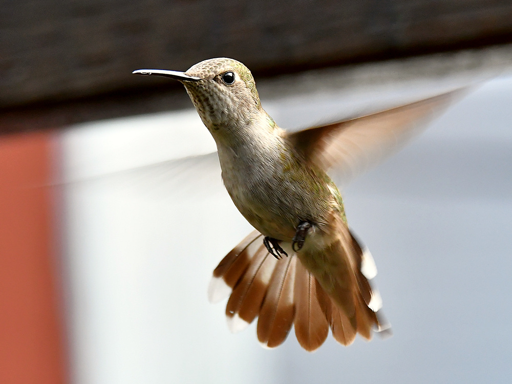 Post your Birds in Flight-hummer29.jpg