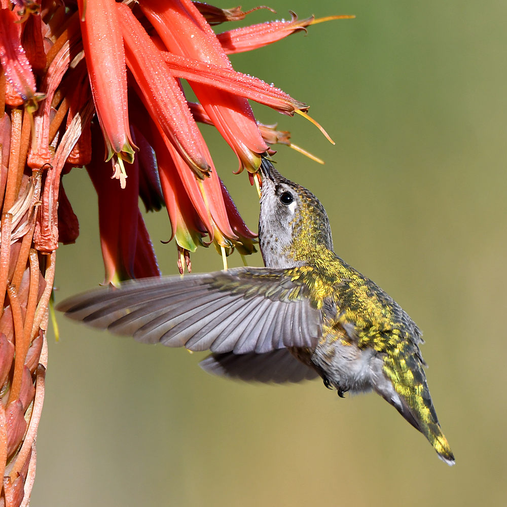 Post your Birds in Flight-hummer3.jpg
